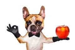 Garçom engraçado do buldogue francês do gengibre do cão em um laço preto para guardar uma maçã grande e para mostrar aproximadame imagens de stock royalty free