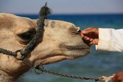 Garçon et son chameau Photo stock