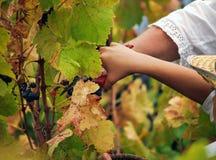 Garçon moissonnant le raisin Photographie stock libre de droits