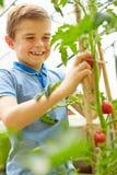 Garçon moissonnant les tomates du pays en serre chaude Image libre de droits