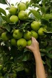 Garçon, sélectionnant des pommes photo libre de droits