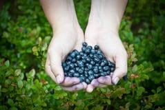 Garść czarne jagody w lesie Fotografia Stock