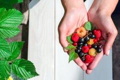 Garść czerwony dojrzały w kobiet rękach Zdjęcie Stock