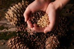 Garść sosnowych dokrętek nasiona i cedrowi sosnowi rożki obraz royalty free