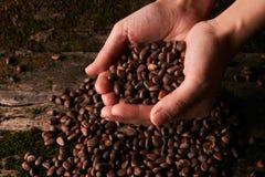 Garść Syberyjskie cedrowe sosnowe dokrętki obraz stock
