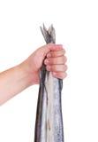Gar ryba Man& x27; s ręka trzyma ryba, tło Obrazy Royalty Free