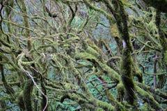 GARAJONAY park narodowy, los angeles GOMERA, HISZPANIA: Laurowy las i swój gmatwanina mech zakrywaliśmy bagażniki i gałąź Fotografia Royalty Free