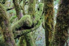 GARAJONAY park narodowy, los angeles GOMERA, HISZPANIA: Laurowy las i swój gmatwanina mech zakrywaliśmy bagażniki i gałąź Zdjęcie Royalty Free
