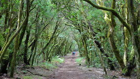 GARAJONAY park narodowy, los angeles GOMERA, HISZPANIA: Laurowy las i swój gmatwanina mech zakrywaliśmy bagażniki i gałąź Obraz Royalty Free