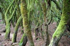 GARAJONAY park narodowy, los angeles GOMERA, HISZPANIA: Laurowy las i swój gmatwanina mech zakrywaliśmy bagażniki i gałąź Zdjęcia Stock