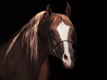 Garanhão árabe adulto do od do retrato no fundo preto Fotografia de Stock Royalty Free