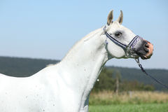 Garanhão árabe agradável com a cabeçada azul da mostra Fotografia de Stock Royalty Free