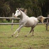 Garanhão árabe cinzento agradável com juba do voo Foto de Stock Royalty Free