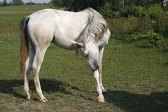 Garanhão árabe cinzento que pasta no campo Fotografia de Stock Royalty Free