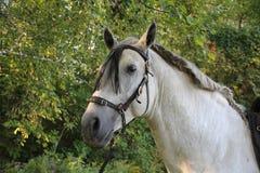 Garanhão andaluz Foto de Stock Royalty Free