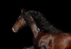 Garanhão andaluz bonito Fotografia de Stock