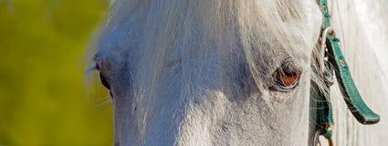 Garanhão branco Imagem de Stock
