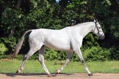 Garanhão branco andaluz no dia ensolarado Fotografia de Stock Royalty Free