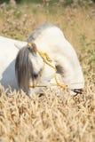 Garanhão branco lindo do pônei da montanha de galês Fotografia de Stock