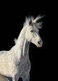 Garanhão cinzento Imagens de Stock Royalty Free
