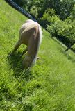 Garanhão de Brown no prado verde fotografia de stock royalty free