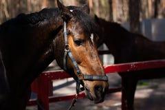 Garanhão de Brown Retrato de um cavalo marrom dos esportes fotografia de stock royalty free