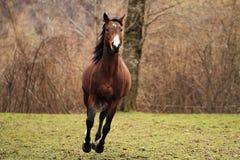 garanhão de um quarto americano do cavalo Fotografia de Stock Royalty Free
