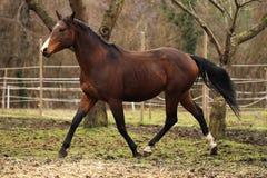 garanhão de um quarto americano do cavalo Fotos de Stock Royalty Free