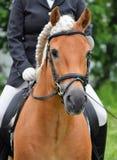 Garanhão do adestramento de Haflinger Imagens de Stock Royalty Free