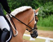 Garanhão do adestramento de Haflinger Fotografia de Stock Royalty Free