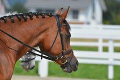 Garanhão do Arabian de Brown Fotos de Stock