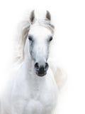 Garanhão do arabian do branco nevado Imagens de Stock