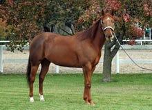 Garanhão do cavalo de um quarto Fotografia de Stock