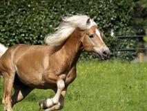 garanhão do cavalo do haflinger Fotos de Stock Royalty Free
