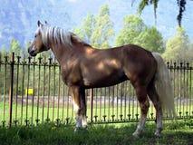 garanhão do cavalo do haflinger Imagens de Stock