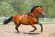 Garanhão do louro da raça ucraniana da equitação Imagens de Stock Royalty Free