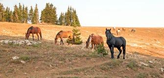 Garanhão do preto do cavalo selvagem com seu rebanho pequeno na escala do cavalo selvagem das montanhas de Pryor em Montana EUA fotografia de stock