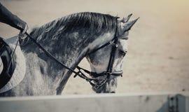 Garanhão dos esportes do retrato no freio Cavalo do Dressage fotos de stock royalty free