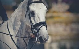 Garanhão dos esportes do retrato no freio Esporte equestre fotografia de stock royalty free