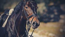 Garanhão dos esportes do retrato no freio Esporte equestre imagens de stock royalty free