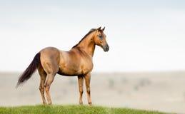 Garanhão dourado da castanha Imagem de Stock Royalty Free