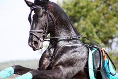 Garanhão preto Imagem de Stock