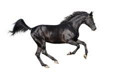 Garanhão preto de galope isolado no branco Imagem de Stock Royalty Free