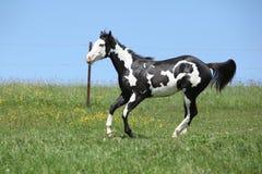 Garanhão preto e branco lindo do corredor do cavalo da pintura Fotos de Stock Royalty Free