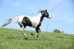 Garanhão preto e branco lindo do corredor do cavalo da pintura Imagens de Stock Royalty Free