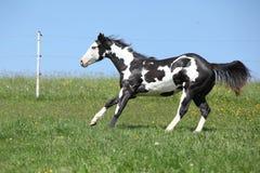 Garanhão preto e branco lindo do corredor do cavalo da pintura Imagem de Stock Royalty Free