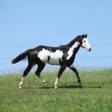 Garanhão preto e branco lindo do corredor do cavalo da pintura Imagens de Stock