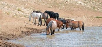 Garanhão Roan vermelho que bebe no waterhole com o rebanho de cavalos selvagens no waterhole na escala do cavalo selvagem das mon Fotos de Stock