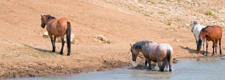 Garanhão Roan vermelho que espirra na água com o rebanho de cavalos selvagens na escala do cavalo selvagem das montanhas de Pryor Fotografia de Stock