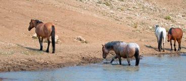 Garanhão Roan vermelho que espirra na água com o rebanho de cavalos selvagens na escala do cavalo selvagem das montanhas de Pryor Foto de Stock Royalty Free